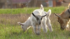 Two Little Goats Graze on Field in Backlight. Stock Footage