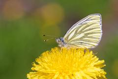 Green-veined white (Pieris napi) butterfly Stock Photos