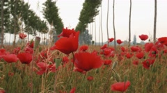 Close up of poppies and rows of young poplars Stock Footage