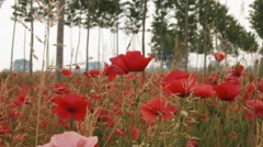 Panoramic view of poppies and rows of young poplars - stock footage
