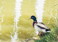 Mallard duck - Anas platyrhynchos - on the lake shore, beauty in nature Stock Photos