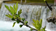 Fig and waterfall - stock footage