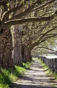 Alley of sycamore tree and railing, footpath scene, vertical composition Stock Photos