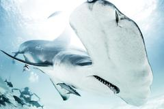 Great Hammerhead Shark, diver in background Kuvituskuvat