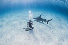 Diver taking photograph of Great Hammerhead Shark Kuvituskuvat