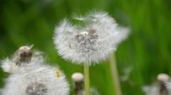 Flower dandelion Stock Footage