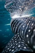 Whale Shark (Rhincodon typus) swimming in the deep water off Malapascua Island, Kuvituskuvat