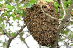 Close up honeybee swarm hanging at tree in the nature. - stock photo