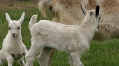Funny Little Goats Playing on the Field and Jumping. Slow Motion. Stock Footage