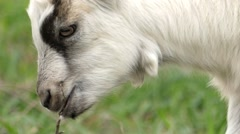 Cute Little Goat Chew the Twig. Close Up. Stock Footage
