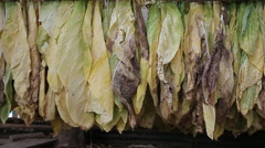 Farmer piling harvested tobacco leaves up on the ground in tobacco field and col Stock Footage