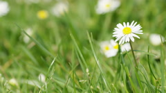 4K Daisy amongst the grass during a sunny day, with space for text Stock Footage