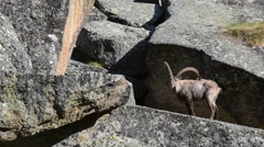 Alpine ibex male with big horns on ledge in rock face in the Alps Stock Footage