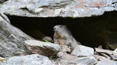 Alpine marmot sitting at entrance of burrow under rock in the Alps Stock Footage