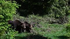 Brown bear male and female walking along riverbank - stock footage