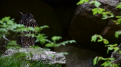 Eurasian eagle owl following prey by looking down from left to right Stock Footage