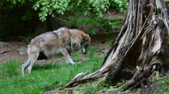 Subordinate wolf eating meat while looking out for other wolves in forest Stock Footage