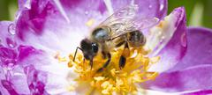 Bee pollinating wild pink rose in bloom Stock Photos
