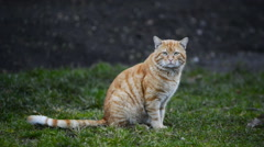 big cat sitting on green grass - stock footage