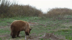 Brownish black bear poking around for food near creek and stump Stock Footage