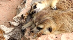 Three meerkats resting after lunch. Stock Footage