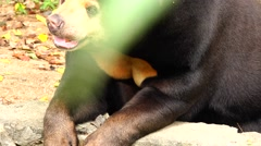 Bear tired from the heat. - stock footage