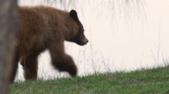 Close tracking shot of brownish black bear walking along creek bank in morning Stock Footage