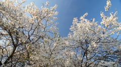 Blossom plum tree by spring. Slow motion, Wide angle low point of view. Bright - stock footage