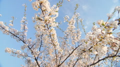 Low angle view of a blooming white cherry tree canopy Stock Footage