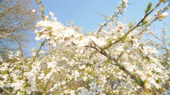 Tranquil scene  blossom plum tree by spring - stock footage