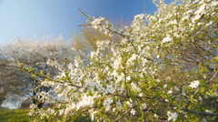 Blossom  caucasian plum tree by spring. Slow motion, Wide angle low point of - stock footage