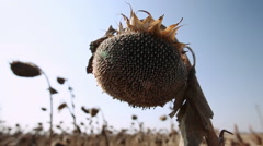 Sunflower head with ripe seeds - stock footage
