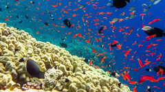 Tropical coral reef and small fishes in the Red Sea. Stock Footage