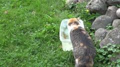 Cat rudd fish bowl Stock Footage