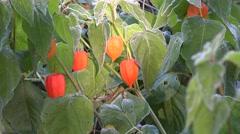 Alkekengi with orange lantern plant covered mild frost. 4K Stock Footage