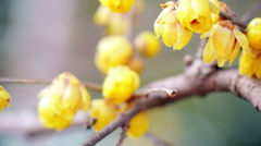 Yellow plum blossom in winter Stock Footage