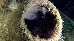 Sea ascidian in the ancient Greek amphorae. Arkistovideo