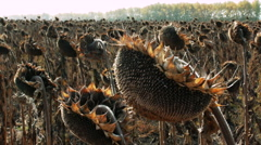 Sunflower heads with ripe seeds Stock Footage