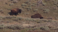 Two bison and crows milling about at base of hill Stock Footage