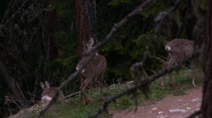 Three roe deers in a forest - stock footage