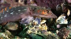 Connemarra clingfish (Lepadogaster candollii). Stock Footage
