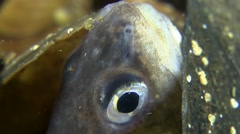 Eye of a buried Cuskeel (Ophidion rochei). Stock Footage