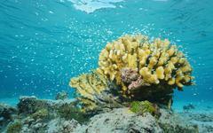 Shoal of fish chromis around cauliflower coral - stock photo