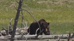 Large grizzly bear walks across fallen logs in Yellowstone Stock Footage