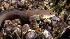 Marine fish Shore rocking (Gaidropsarus mediterraneus). Stock Footage