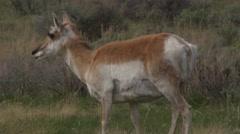 Pregnant female pronghorn antelope grazes on grass Stock Footage