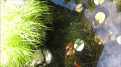 Golden fish swimming in pond, water, plants Stock Footage