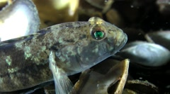 Black goby (Gobius niger). Stock Footage