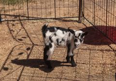Black and white baby Nigerian dwarf goat - stock photo