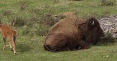Baby bison calf walks past mum and lies down awkwardly in grass Stock Footage